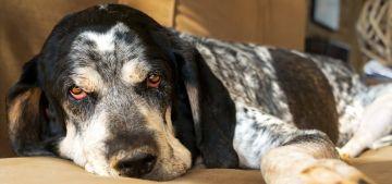 Las alergias en los perros, ¿cómo afectan a su salud?