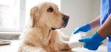 Cómo aplicarle los primeros auxilios a mi mascota